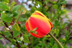 τουλίπες λουλουδιών Στοκ εικόνες με δικαίωμα ελεύθερης χρήσης