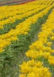 τουλίπες πεδίων κίτρινε&sigma Στοκ φωτογραφία με δικαίωμα ελεύθερης χρήσης