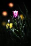 Τουλίπες σε έναν μαγικό κήπο νύχτας - αφηρημένη τέχνη Στοκ Εικόνα
