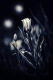 Τουλίπες σε έναν μαγικό κήπο νύχτας - που τονίζεται Στοκ Φωτογραφία