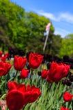 Τουλίπες στην πλήρη άνθιση στο πάρκο της Νέας Υόρκης Ουάσιγκτον του Άλμπανυ Στοκ Φωτογραφία