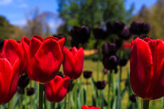 Τουλίπες στην πλήρη άνθιση στο πάρκο της Νέας Υόρκης Ουάσιγκτον του Άλμπανυ Στοκ Φωτογραφίες