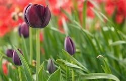 Τουλίπες στον κήπο Στοκ φωτογραφία με δικαίωμα ελεύθερης χρήσης