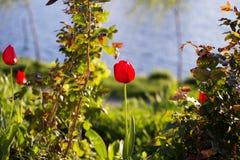 Τουλίπες στο πάρκο Στοκ φωτογραφία με δικαίωμα ελεύθερης χρήσης