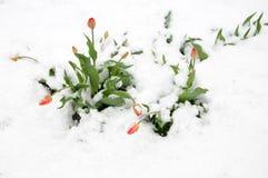 Τουλίπες στο χιόνι. Στοκ Φωτογραφίες