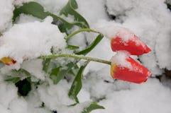 Τουλίπες στο χιόνι. Στοκ Εικόνες