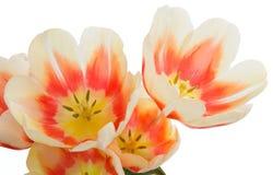 Τουλίπες τουλίπες δεσμών Ανθοδέσμη κινηματογραφήσεων σε πρώτο πλάνο των λουλουδιών Λουλούδι te Στοκ Φωτογραφίες