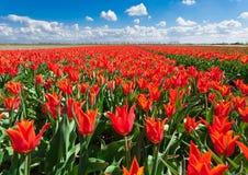 Τουλίπες Όμορφα ζωηρόχρωμα κόκκινα λουλούδια το πρωί την άνοιξη, δονούμενο floral υπόβαθρο, τομείς λουλουδιών στις Κάτω Χώρες Στοκ φωτογραφία με δικαίωμα ελεύθερης χρήσης