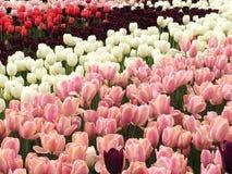 Τουλίπες flowerbeds Στοκ φωτογραφίες με δικαίωμα ελεύθερης χρήσης