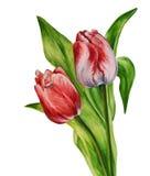 Τουλίπες Watercolor Στοκ εικόνες με δικαίωμα ελεύθερης χρήσης
