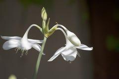 Του Αμαζονίου σκοτεινό υπόβαθρο λουλουδιών κρίνων άσπρο Στοκ Εικόνες