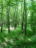 του βορρά δάση του Τέξας Στοκ εικόνα με δικαίωμα ελεύθερης χρήσης