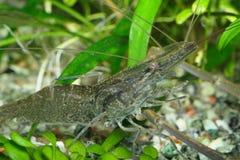 του γλυκού νερού γαρίδες Στοκ Εικόνα