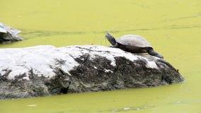 Του γλυκού νερού χελωνών ή τερραπινών του ήλιου στο βράχο στο νερό που έχει τις ανθίσεις αλγών να ποτίσουν την πράσινη επιφάνεια  φιλμ μικρού μήκους