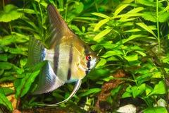 Του γλυκού νερού γδυμένο, φως angelfish σε ένα ενυδρείο Στοκ Φωτογραφίες
