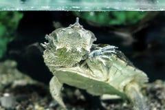 Του γλυκού νερού εξωτικές χελώνες Matamata Στοκ Φωτογραφίες