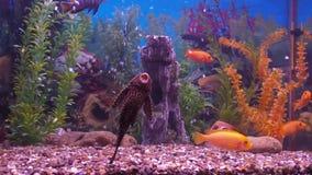 Του γλυκού νερού ψάρια ενυδρείων απόθεμα βίντεο