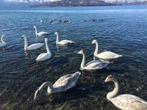 Του Κύκνου λιμνών γκρίζα ελεύθερη άγρια άσπρη τροφή της Ιαπωνίας βουνών νερού ζωντανή Στοκ Εικόνα