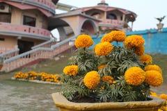Του Μπαγκλαντές όμορφο κίτρινο μεγάλο marigold μπροστά από το όμορφο σπίτι στοκ εικόνα