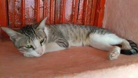 Του χωριού γάτα & εγχώρια γάτα Στοκ Φωτογραφίες