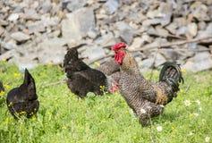 Του χωριού ζωή, κοτόπουλα και κόκκορες στο φυσικό περιβάλλον στοκ φωτογραφία με δικαίωμα ελεύθερης χρήσης