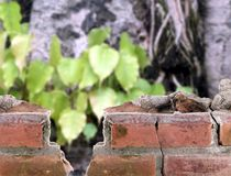 Τούβλινο πλαίσιο τοίχων το δέντρο bodhi, μέρος του παλαιού σπασμένου κτηρίου και δέντρα στον αρχαίο ναό του βουδισμού Στοκ Φωτογραφία