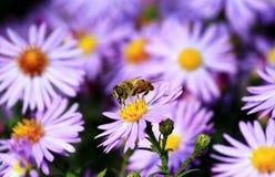 Το Ð'ee συλλέγει τη γύρη σε ένα ιώδες λουλούδι στοκ εικόνα με δικαίωμα ελεύθερης χρήσης