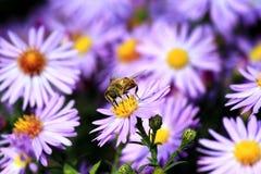 Το Ð'ee συλλέγει τη γύρη σε ένα ιώδες λουλούδι στοκ εικόνες