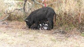 Το άγριο γουρούνι ταΐζει τα χοιρίδιά της στους υγρότοπους της Φλώριδας φιλμ μικρού μήκους