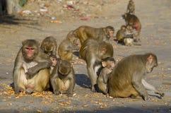 Το άγριο ζώο ένας πίθηκος ένα macaque στην Ινδία Στοκ Φωτογραφίες