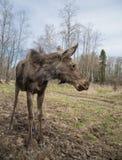 Το άγριο ζώο αλκών αλκών κοιτάζει μακριά Στοκ Φωτογραφία