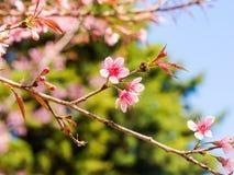Το άγριο κεράσι Prunus Himalayan cerasoides Στοκ φωτογραφία με δικαίωμα ελεύθερης χρήσης