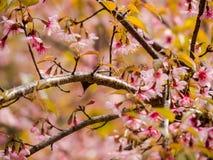 Το άγριο κεράσι Prunus Himalayan cerasoides Στοκ Εικόνες