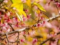 Το άγριο κεράσι Prunus Himalayan cerasoides Στοκ φωτογραφίες με δικαίωμα ελεύθερης χρήσης