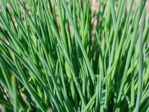 Το άγριο κρεμμύδι αυξήθηκε την άνοιξη στον κήπο στοκ φωτογραφία με δικαίωμα ελεύθερης χρήσης