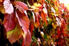 Το άγριο κόκκινο σταφυλιών φθινοπώρου βγάζει φύλλα στον πράσινο φράκτη Στοκ φωτογραφία με δικαίωμα ελεύθερης χρήσης