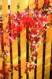Το άγριο κόκκινο σταφυλιών φθινοπώρου βγάζει φύλλα στον πράσινο φράκτη Στοκ Εικόνα