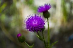 Το άγριο λουλούδι είναι ένα ζιζάνιο Στοκ Φωτογραφία