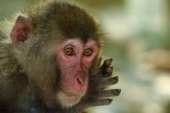 Το άγριο πρόσωπο πιθήκων ` s, άγριος πίθηκος Α σύλλεξε στη θέση σίτισης του φυσικού ζωολογικού κήπου Takasakiyama στοκ εικόνες με δικαίωμα ελεύθερης χρήσης