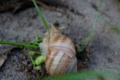 Το άγριο σαλιγκάρι Στοκ εικόνα με δικαίωμα ελεύθερης χρήσης