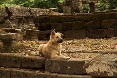 Το άγριο σκυλί οδών προστατεύει Ankor wat Καμπότζη Στοκ Εικόνα