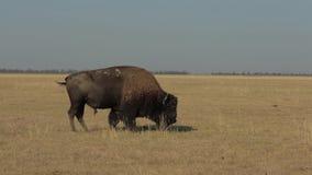 Το άγριο Buffalo βόσκει στον τομέα απόθεμα βίντεο