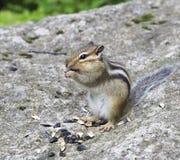 Το άγριο chipmunk τρώει τους σπόρους. Στοκ Φωτογραφίες