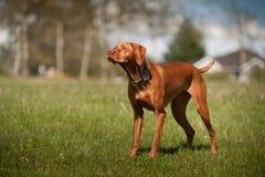 το άγρυπνο σκυλί κοιτάζ&epsilon Στοκ Φωτογραφίες