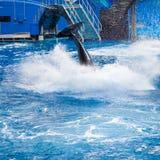 Το άλμα Orca εμφανίζει πτερύγιο ουρών της Στοκ εικόνα με δικαίωμα ελεύθερης χρήσης