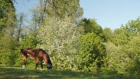 Το άλογο βόσκει στον πράσινο τομέα ενάντια στο σκηνικό του ανθίζοντας οπωρώνα μήλων φιλμ μικρού μήκους