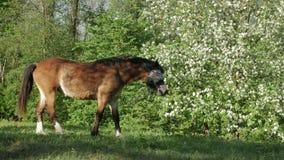 Το άλογο βόσκει στον πράσινο τομέα ενάντια στο σκηνικό του ανθίζοντας οπωρώνα μήλων απόθεμα βίντεο
