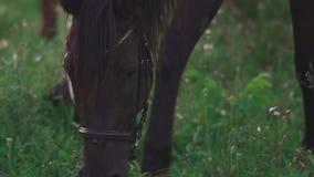Το άλογο βόσκει στον τομέα φιλμ μικρού μήκους