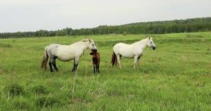 Το άλογο βόσκει στο λιβάδι βόσκοντας άλογα απόθεμα βίντεο