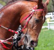 το άλογο κοιτάζει Στοκ Φωτογραφίες